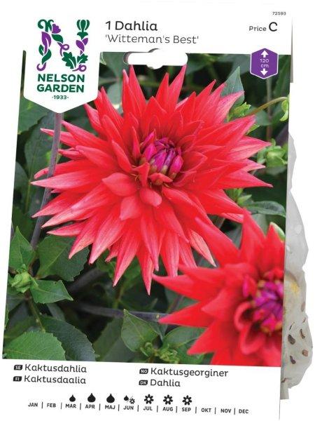 Nelson Garden Kaktusgeorginer Witteman's Best (72593)