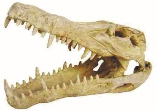 Gapende Krokodillekranium