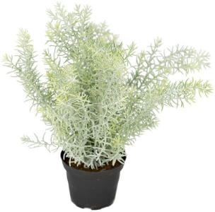 Aspargus H:25 Mr Plant